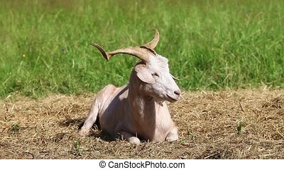 White goat lies on the hay