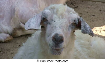 White goat looking at the camera