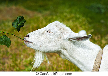 White Goat on a farm - White Goat eats a branch with leaves...
