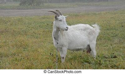 white goat on the autumn grass