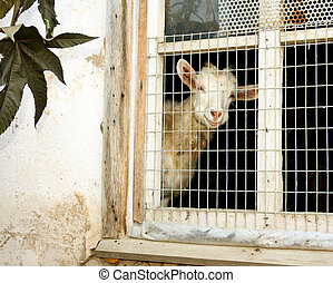 White goat - House goat in a shed window
