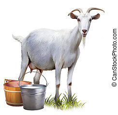White goat with buckets full of milk. Isolated realistic illustration on white background