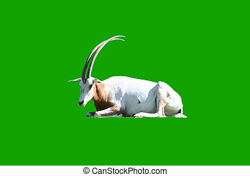 White goat with long horns
