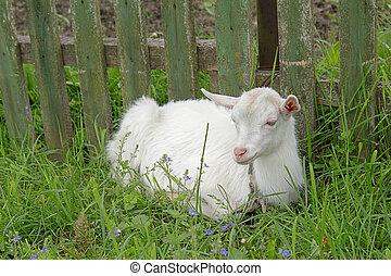 White goatling lying on the green grass
