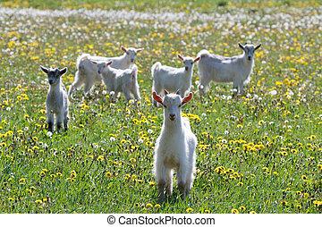 White goats frolic in a field