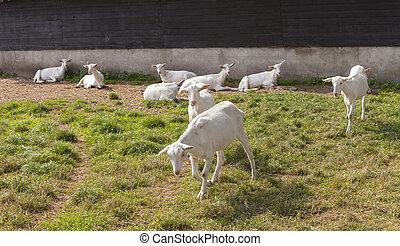 white goats in meadow near barn on goat farm in the...
