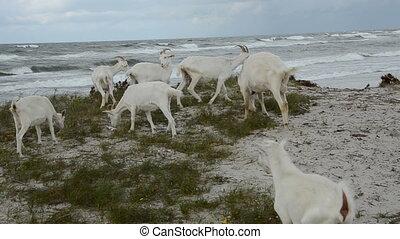 white goats on the sea beach