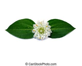 White Gomphrena Globosa Flower