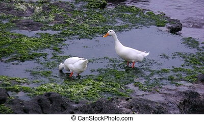 White goose on shore of Indian ocean eating sea-weeds....