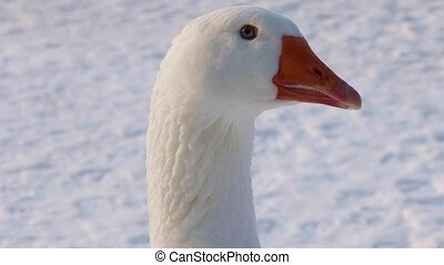 White goose on winter background - Portrait of a beautiful...