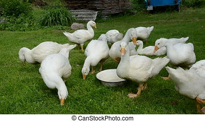 white gooses in the farm
