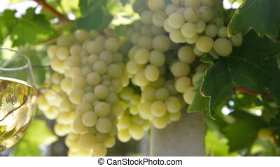 Two glasses of white wine and bunch of muscat white grapes, tracking shot