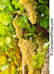 White grape growing in countryside