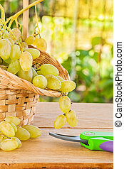 white grape in basket and secateurs on wooden table in vineyard