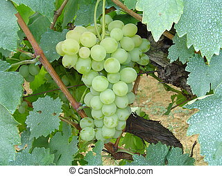 grape - white grape