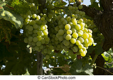 White grape vine
