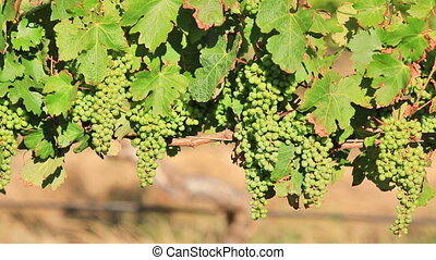 White grapes at sunset close up in wine vineyard. Margaret...
