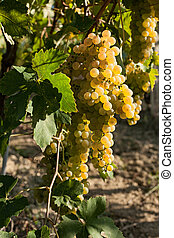White grapes bunches on the vine