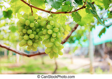 White grapes growing in vineyard.
