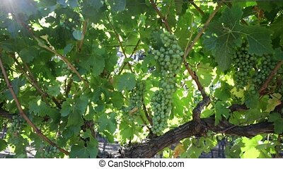 White grapes hanging at sunset - Picturesque seasonal...