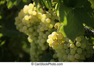 wine yard - white grapes in a wine yard