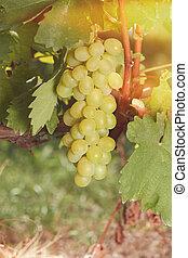 White grapes in bright sunshine