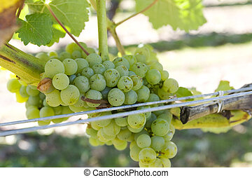 White grapes in Marlborough, new zealand - White sauvignon...