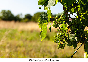 White grapes in the vineyards in the Istrian countryside - ...