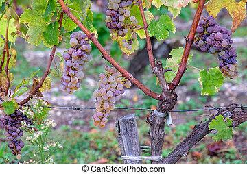 White grapes of Sauternes, France