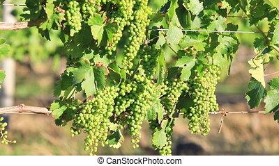 White grapes of vine