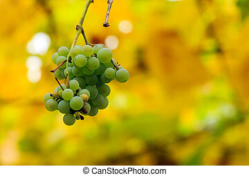 white grapes on vineyard blurred background - bunch of white...