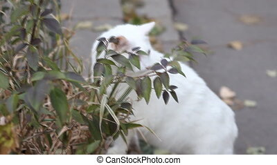 White grass-eating cat on the road in the town