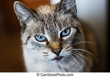 White gray cat with blue eyes, close up portrait