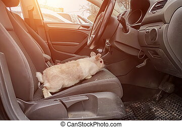 White gray rabbit in the car. Sits in the drivers seat and looks at the car pedals n the right side steering wheel car