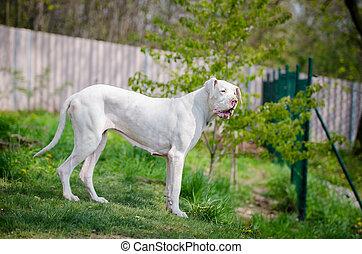 White great dane portrait in spring time