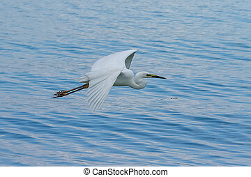 White great egret flying over the lake