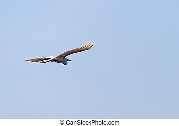 White great egret - Photo of a flying white great egret