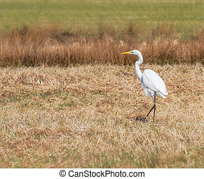 White great egret standing in a  meadow