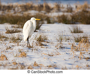 White great egret standing in a snow covered meadow