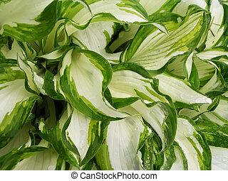 White-green Leafs