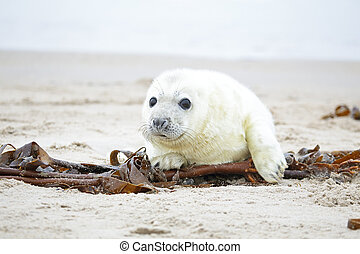 White grey baby seal looks inquisitively at the beach with ...