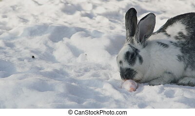 White grey rabbit sits on snow in park gnawing carrot slow motion
