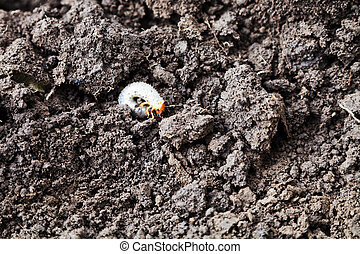 white grub of cockchafer between clumps of freshly dug earth