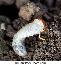 white grub of cockchafer burrows into ground