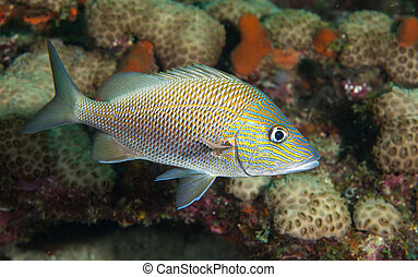 White Grunt Fish on a reef. - Species of the grunt family of...