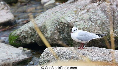 White Gull on the Rock - Close Up White Gull Perched on the...