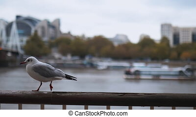 Following a white European Herring Gull walking on a handrail with trees and a boat on the River Thames as Background