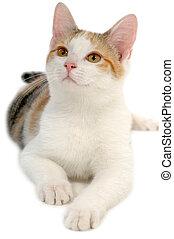 white háttér, macska