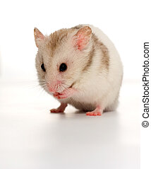 White hamster washing his hands