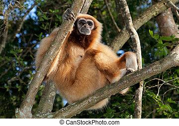 White-handed gibbon - A white-handed gibbon (Hylobates lar)...